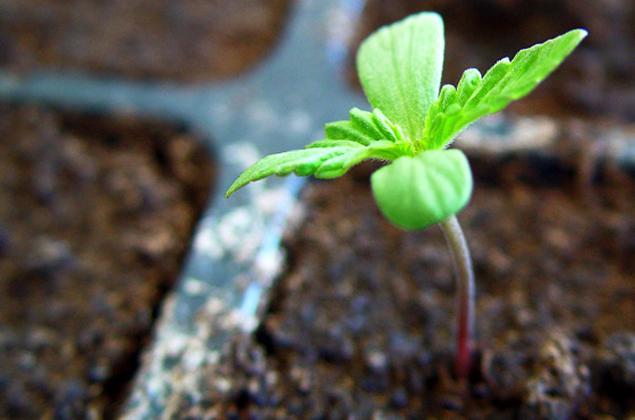 semillas-marihuana-e