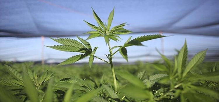 nodal marihuana