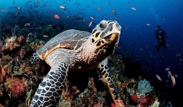 Atlantic-Turtle