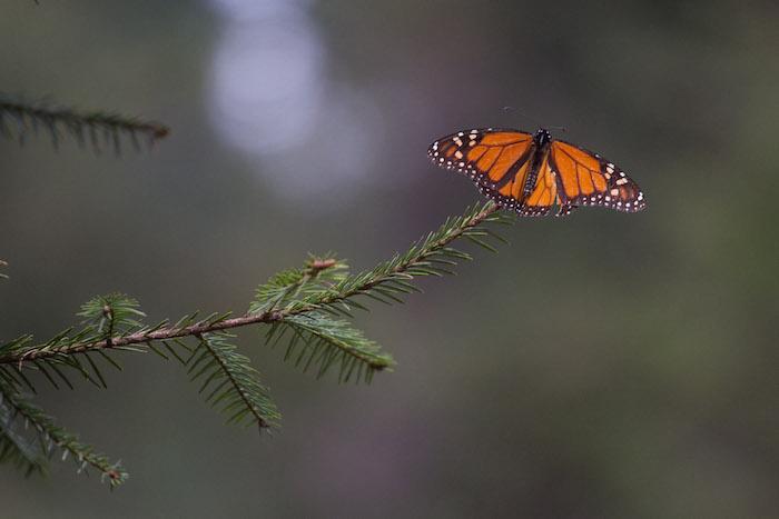 mariposas-monarca-informe